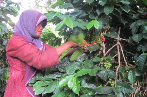 3. harvesting coffee